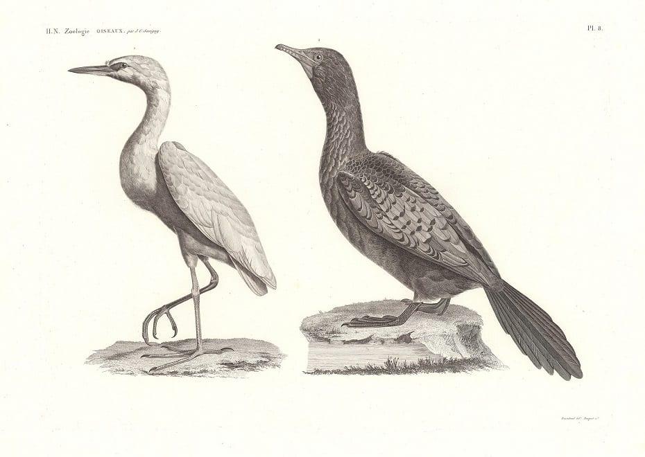 C. L. F. Panckoucke. Planche 8 Zoologie, Oiseaux. 1. Héron garde-bœuf (Ardea bubulcus); 2. Cormoran d'Afrique (Phalacrocorax Africanus), 1826